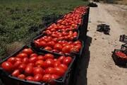 ۱۱ هزار هکتار از اراضی کشاورزی قزوین به زیر کشت صیفی جات می رود