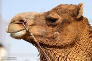 ببینید | تخلیه 3000 شتر از بندر طرابلس در لیبی!