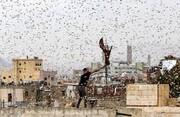 هجوم ملخهای مهاجم به روستای «طلحه»برازجان