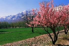 جلوهای از شکوفههای کویری بادام کوهی در سیستان و بلوچستان