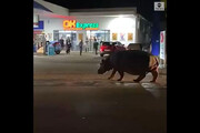 ببینید | مردم شوک زده از تماشای یکباره اسب آبی بزرگ در وسط خیابان!