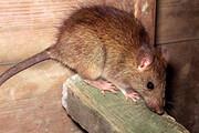 ببینید | شوخی با کرونا به کمک ویدئوی خاص یک موش که وایرال شده!