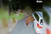ببینید | خرس خسته در اتومبیل را باز می کند و به داخل می رود تا چرت بزند
