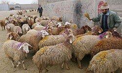 قاچاق دام، علت اصلی افزایش گوشت قرمز در همدان است