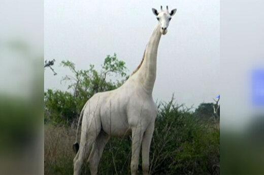 ببینید | شکارچیها زرافه سفید نادر و بچهاش را کشتند