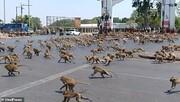 میمونهای گرسنه در تایلند بر سر غذا میجنگند