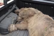 ببینید | کشتن بی رحمانه یک خرس در حال انقراض در ارومیه/ حاوی تصاویر دلخراش