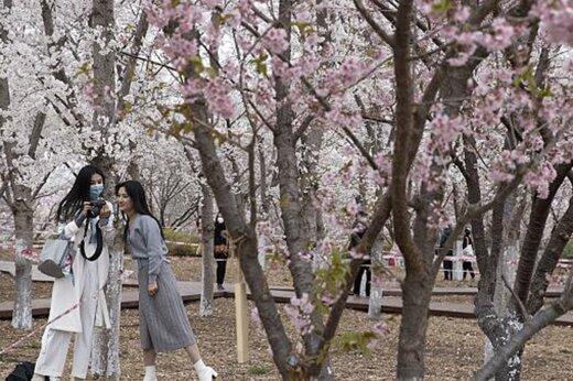 ببینید   فصل شکوفههای چین زیر سایه کرونا