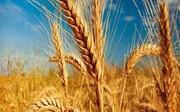 خرید تضمینی۳۰۰هزار تن گندم در سال جاری
