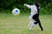 ببینید | گربهای که مثل بوفون شیرجه میزند