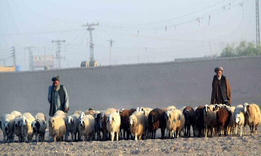 اعتراض پاکستانیها به قاچاق دام به ایران