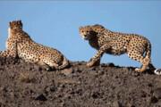 ببینید | لحظه به هوش آمدن «ایران»، یوزپلنگ ایرانی