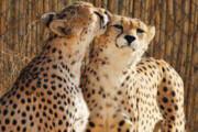 عکس | معاینات بالینی و خونگیری از یوزپلنگ ماده : دلبر!