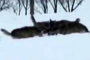 ببینید | لحظه حمله گرگها و شکار یک خرگوش در خرمدره