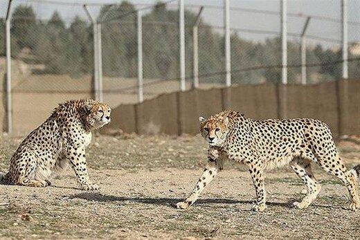 ماجرای سفر جنجالی یوزپلنگها از تهران به توران چه بود؟