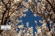ببینی | شکوفههای بادام «دره چای»