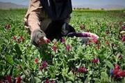 یکهزار هکتار از اراضی چهارمحال و بختیاری زیر کشت گیاهان دارویی رفت