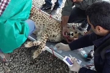 توضیحات محیطزیست در مورد انتقال یوزپلنگ ایرانی به سمنان