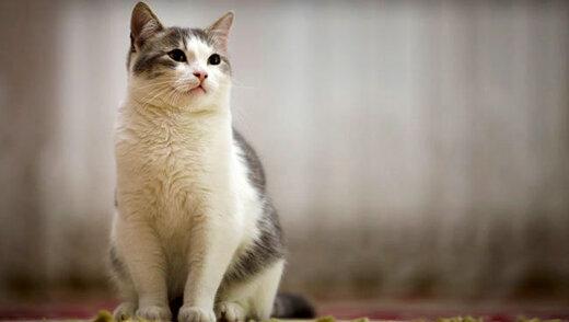 گربهها کروناویروس را انتقال میدهند؟