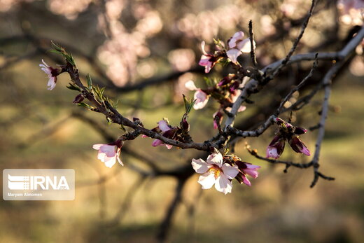 شکوفه های «دره چای»
