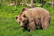 حمله خرس قهوهای به یک چوپان جوان
