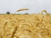 پیش بینی تولید جو در سال جاری در فارس ۳۷۰ هزار تن است