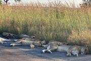 عکس   لذت بردن شیرهای آفریقا از دنیای بدون انسان در زمانه کرونا