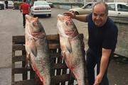 ببینید | ماهی های 40 کیلویی صید شده از سفیدرود در گیلان