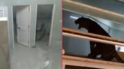 ورود پلنگ سرگردان به داخل بیمارستان!/ عکس