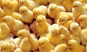 معدوم سازی جوجهها اقدام جدایی ناپذیر صنعت مرغداری/ روش درست معدوم سازی استفاده از گازco۲ است