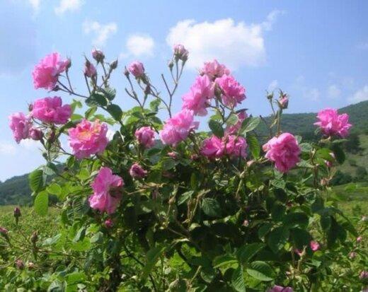 ۶۵۰ هکتار اراضی چهارمحال و بختیاری به پرورش گل محمدی اختصاص دارد