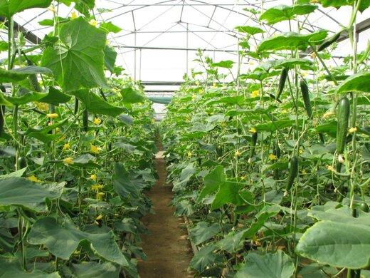 ۵۰هکتار گلخانه در استان قزوین احداث می شود