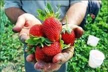 نوبرانه توت فرنگی گلستان روانه بازار شد
