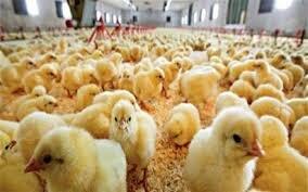 تولید مازاد جوجه در آذربایجانغربی وجود ندارد