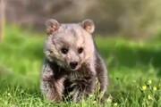 ببینید | لحظات شیرین بازگشت به زندگی توله خرس در مریوان پس از قتل دلخراش خرس مادر