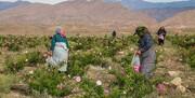 برداشت گل محمدی از گلستانهای خراسانجنوبی آغاز شد/ پیشبینی برداشت ۳۶۵ تن گل