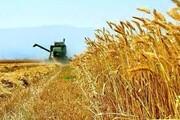 ۳۲۰ هزار تن گندم در استان ایلام برداشت می شود
