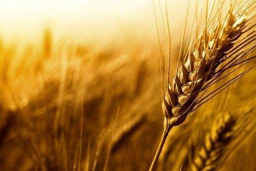 ۱۱ هزار تن گندم از کشاورزان بوشهری خریداری شد/ پیشبینی برداشت ۱۰۰ هزار تن