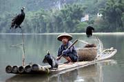 ببینید   ویدئویی حیرت انگیز برده کشی چینیها از مرغان ماهیگیر!