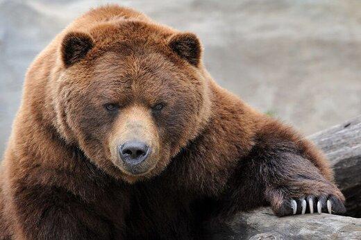 خرس عصبانی یک کوهنورد را در ارتفاعات پیرانشهر زخمی کرد