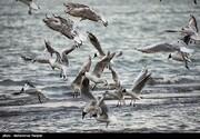 تصاویر | کاکایی خزری و مرغ ماهی خوار!