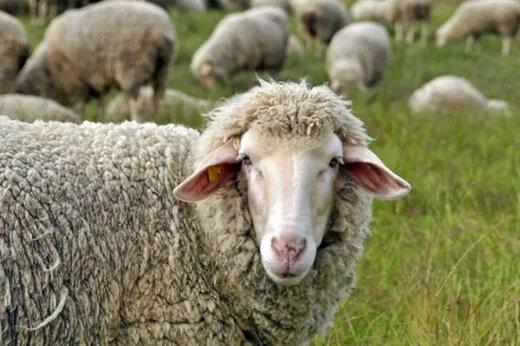ببینید | قیمت یک راس گوسفند در خارج از کشور چقدر است؟