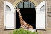 ببینید | پیوستن زرافههای باغ وحش لندن به برنامه حمایت از کادر درمانی