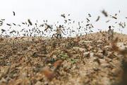 ببینید | ملخ های صحرایی به مزارع سیستان وبلوچستان زدند
