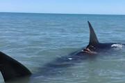 ببینید | کوسه نهنگ غولپیکر ۱۹ متری مهمان ناخوانده سکوی نفتی فروزان خلیج فارس