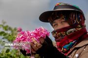 تصاویر | برداشت گل محمدی و تولید گلاب در باغات موقوفه حضرت فاطمه معصومه(س)