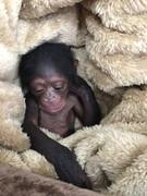 ماجرای شامپانزه که به باغ وحش ارم بازگردانده نشد، چیست؟