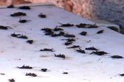ببینید |  هجوم سوسکها به بوئین زهرا