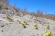 ببینید | هجوم وحشتناک دستههای میلیونی ملخ صحرایی به جاسک