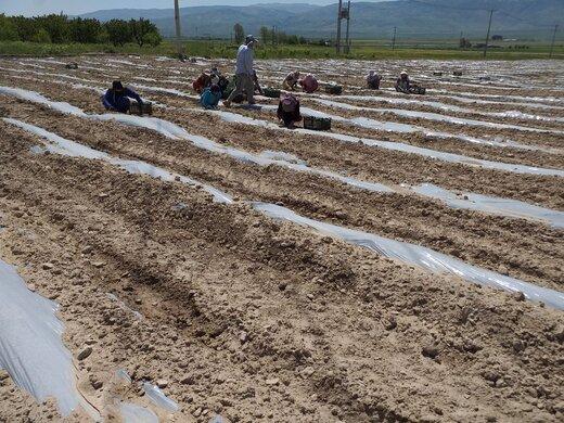آغاز کشت گوجه فرنگی در سطح ۸۰۰ هکتار از اراضی مانه و سملقان